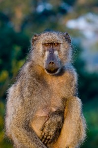Foreign Tourists robbed by baboon in Cape Town