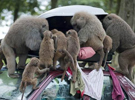 Any baboon will protect his car and lock his luggage!!