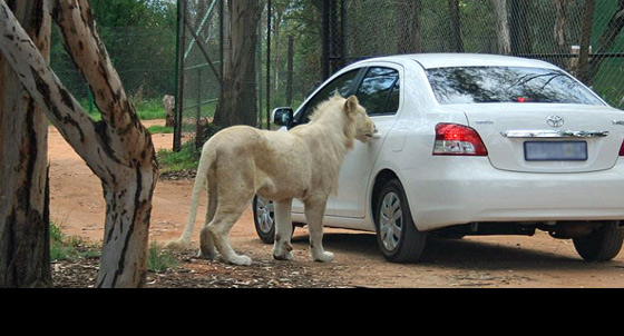 Amazing photos of lion opening car door in lion park