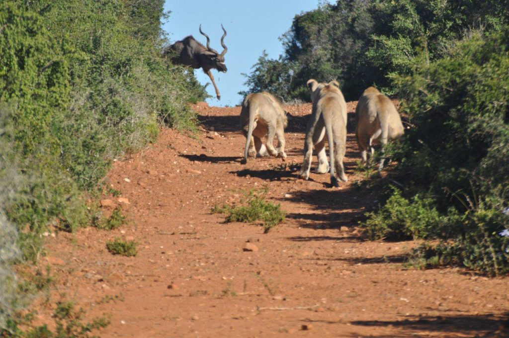 Photos prove the South African kudu can Jump!!