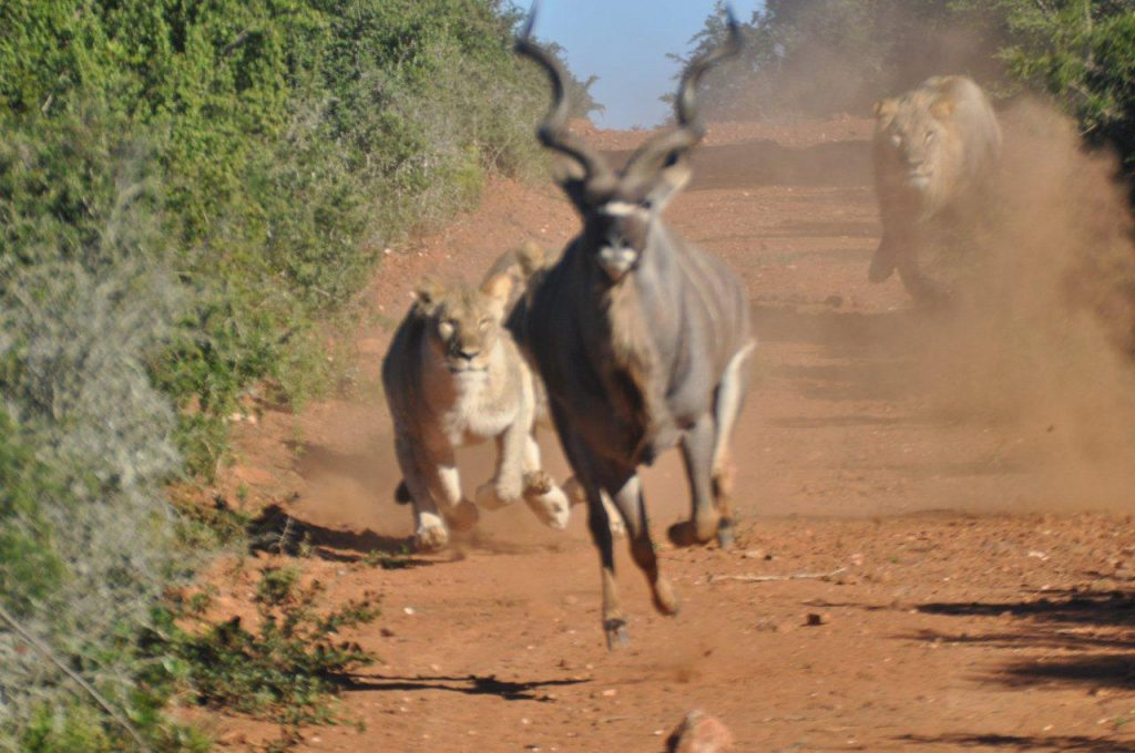Police Car Website >> Photos prove the South African kudu can Jump!! | Road Safety Blog