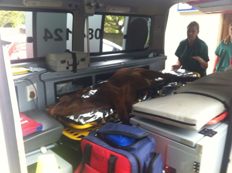 Calf Injured After been Hit By Taxi