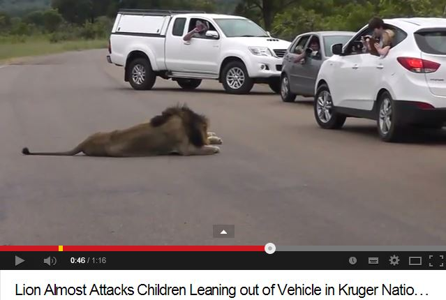 Video captures kids leaning out of vehicle within metres of lions in Kruger National park! Parents need to Think!!