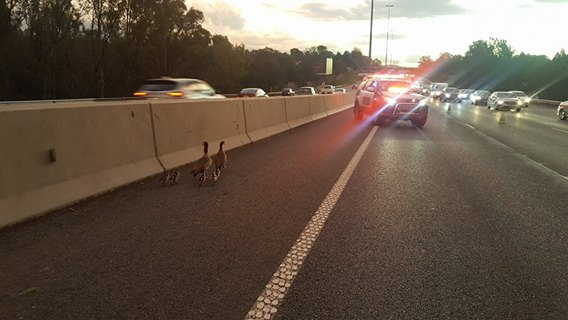 Emer-G-Med medic & a taxi driver save a family of ducks!