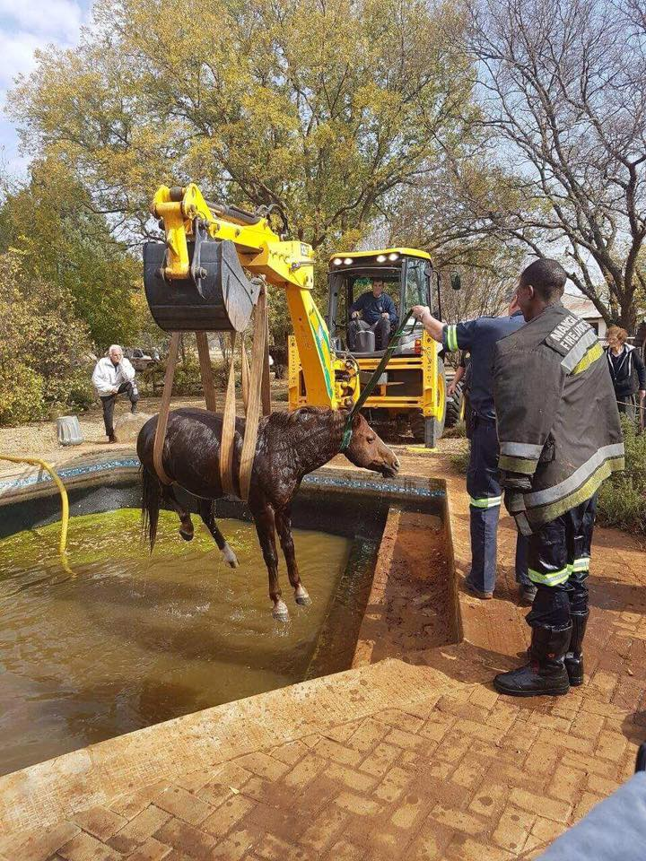 Free State EMS rescue horse from swimming pool