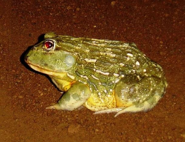 Be Vigilant and Brake for our Bullfrogs!