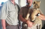Lion Cub found in Athlone