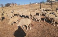 Forty-seven sheep recovered in the Katkop area